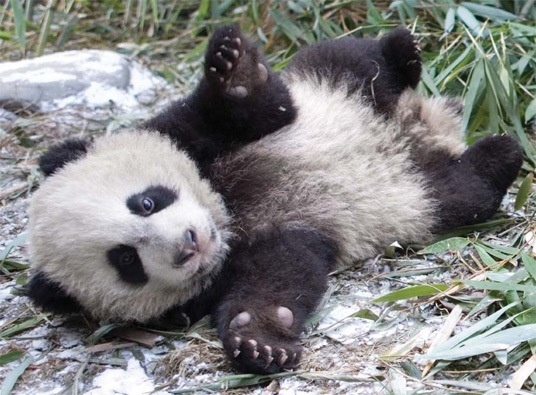 wars panda bear - photo #39
