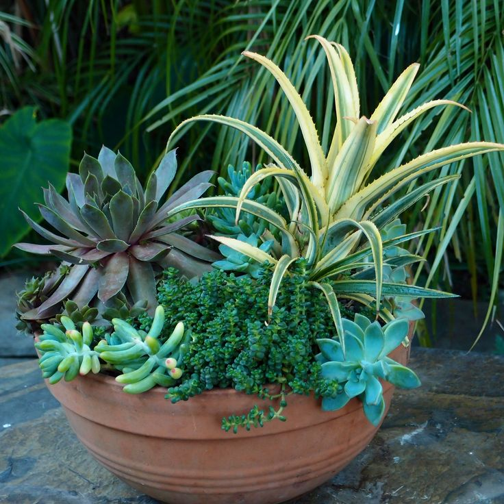 Aechmea Aztec Gold (in The Bromeliad Family) And Sedums