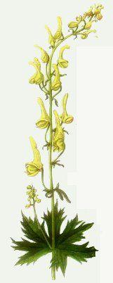 Aconitum vulparia (wolfsbane)