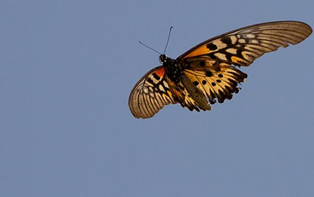 Earth Touch News Network - In Liberia, hoping for a glimpse of Africa's biggest butterfly
