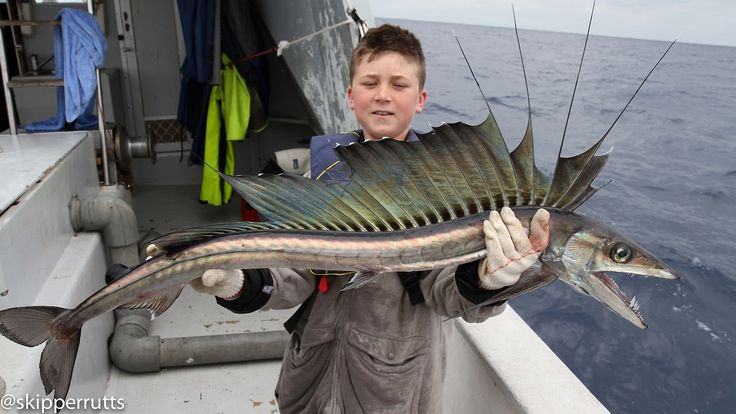 """Lancetfish (Alepisaurus)  Lancetfishes are large oceanic predatory fishes in the genus Alepisaurus (""""scaleless lizard""""). Lancetfishes grow up to 2 m (6.6 ft) in length. Very little is known about their biology, though they are widely distributed in all oceans, except the polar seas."""