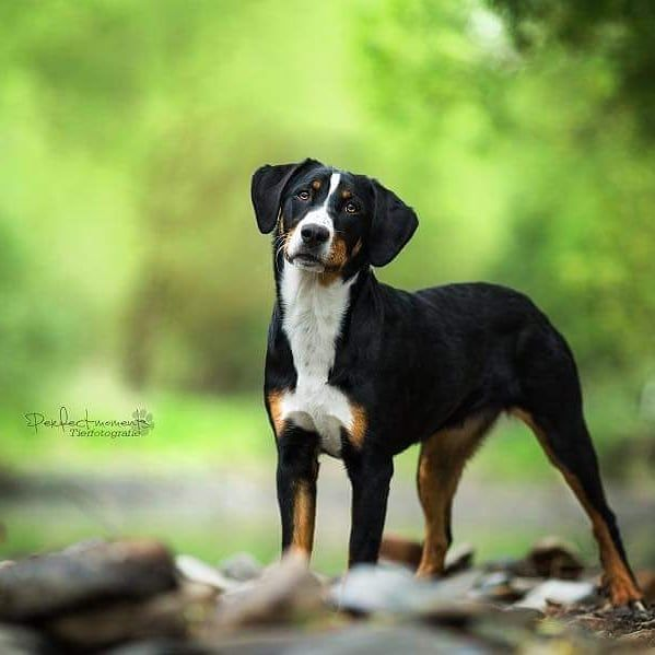 Appenzeller Sennenhund Mit Bildern Sennenhund Hunde