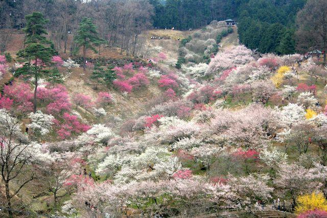【お花見】日本一のあの梅の名所は今年が最後に!?「椿&梅祭り」が続々開催