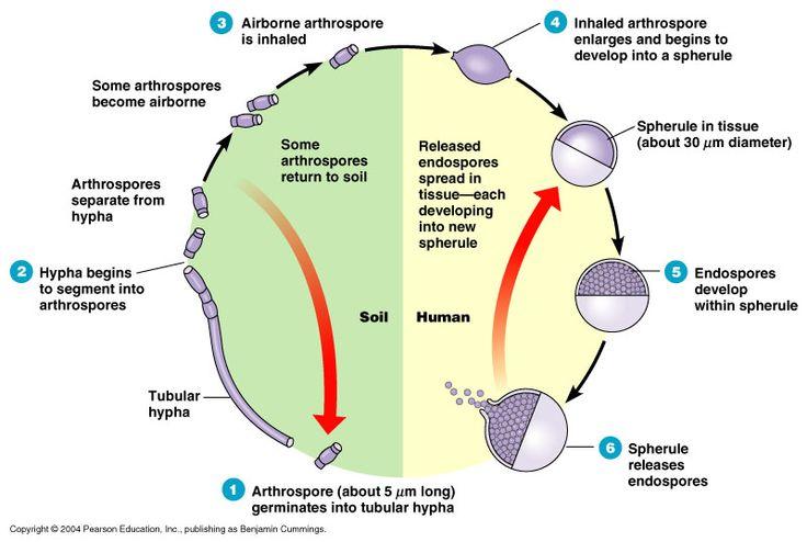 life cycle of mycobacterium tuberculosis pdf