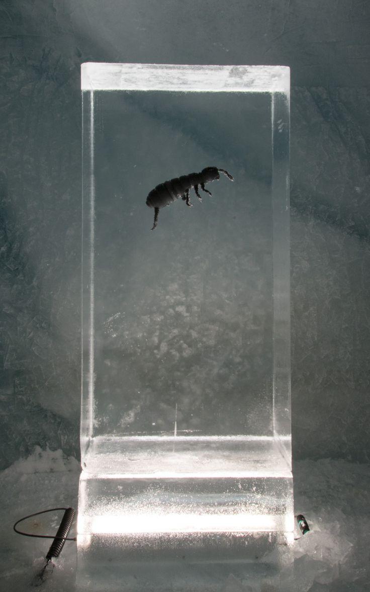 Gletscherlehrpfad: eingefrorenes Modell vom #Gletscherfloh.  #Eisskulpturen #Eisfiguren #Mittelallalin #Eispavillon #Saas-Fee #icesculptures www.eisskulpturen.ch                                                                                                                                                                                 Mehr