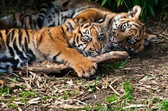 The beautiful and regal tiger (Panthera tigris) has nine current subspecies, three of which are extinct. Here are the six species that remain — all of which are endangered or critically endangered, according to the International Union for the Conservation of Nature (IUCN) Red List. This photo of two Sumatran tiger cubs taking a rest was taken on Oct. 5, 2010.  (Eric Gevaert | Dreamstime)