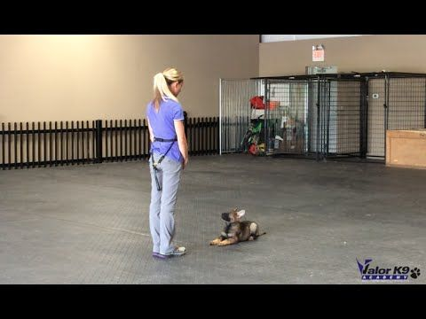 German Shepherd puppy obedience training | 8 weeks old | Valor K9 Academy, LLC - YouTube
