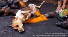 Say No to dog meat. In Indonesia alive dogs are set on fire to roast. It is inconceivable how human beings can hold a blowtorch flame on ALIVE dogs as they writhe in agony in front of them! Plz sign these petitions to help these poor babies ; (
