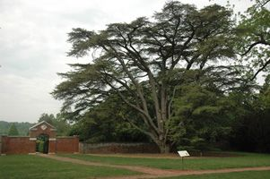 """We are very happy to announce that the arboretum has now received two gifted cedars of Lebanon young trees from Montpelier, James Madison's home. This gift nearly culminates efforts that were begun seven years ago when a staff member of the arboretum began coordinating with a Montpelier horticulturalist so that the arboretum could have a """"daughter"""" tree from James Madison's cedars of Lebanon. Only one of the three original cedars of Lebanon from the 1820s in Montpelier's gardens still…"""