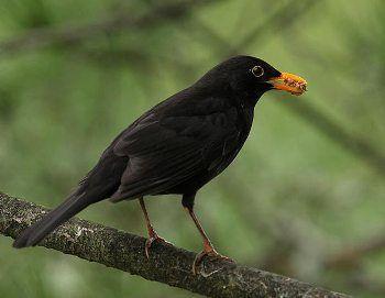 Mirlo Comun http://www.mascotadomestica.com/especies-de-aves/mirlo-comun.html