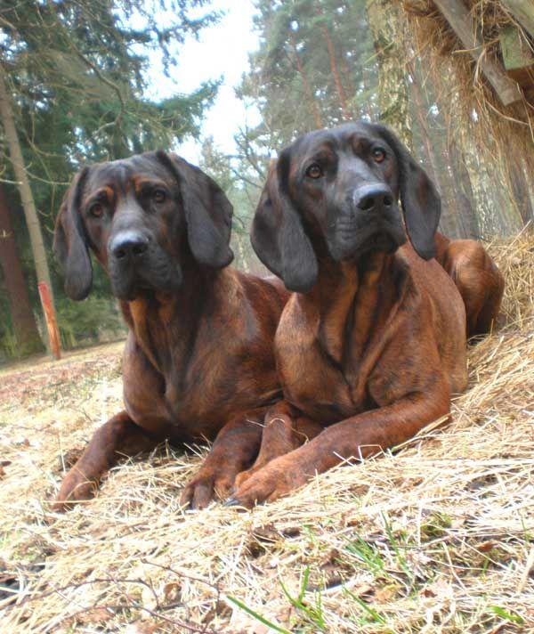 Hannoverscher Schweißhund