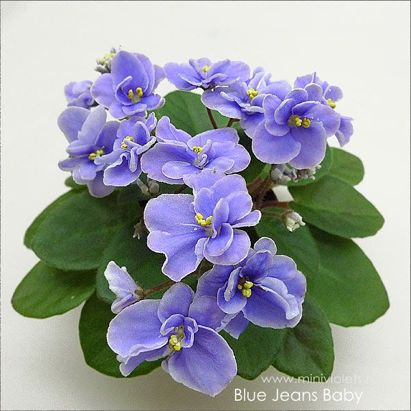 african violets shows - Google Search | PLANTS TO GROW ...