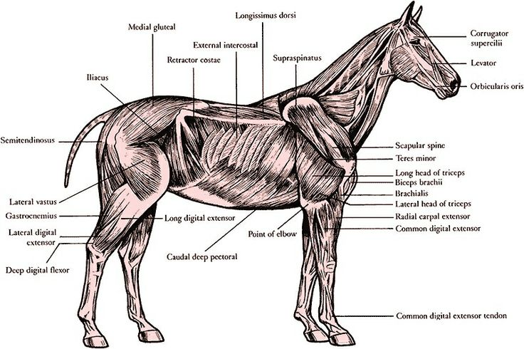 Muscular System Of A Horse Horse Reference Items