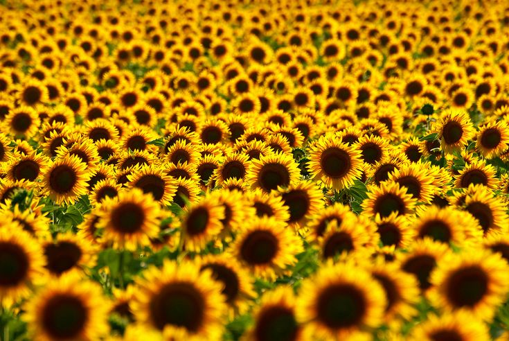Sunflower fields in Malaucene, France