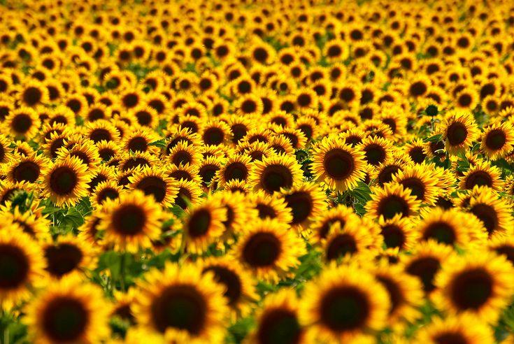 Sunflower fields in Malaucene, France