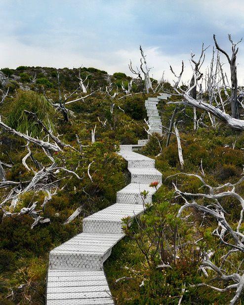 Dead Huon Pine: 10,500 years old; Mount Read, Tasmania.