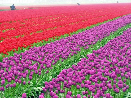 Tulips Field near Katwijk