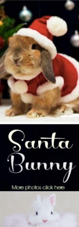 Bunny rabbits rocking Christmas costumes. Santa bunny.