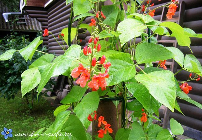 Какие цветы посадить забора - 6 однолетних вьющихся быстрорастущих растений для забора.   Красивый Дом и Сад