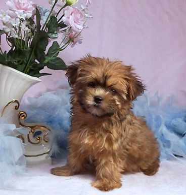 Shorkie Puppies for sale in Washington/ Shorkies for sale