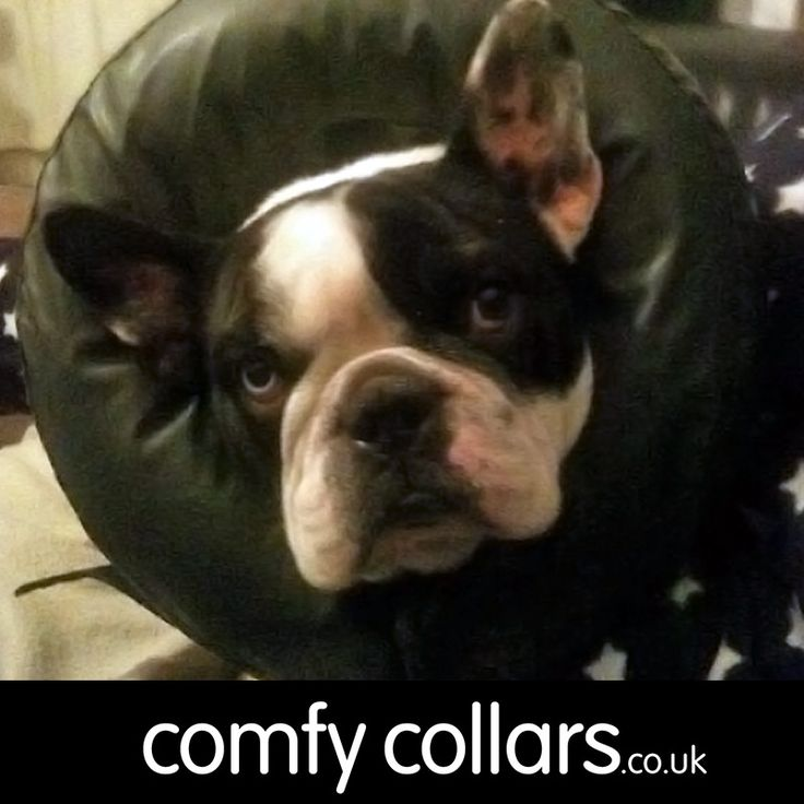"Boris wore a Comfy Collar ... ""We rescued a little French Bulldog who had chronic ear infections that were left untreated. Due to his breed he has major issues with e-collars because with his flat face he couldn't reach his water/food bowls. The Comfy Collar has worked WONDERS. He absolutely loves it! He uses it as a pillow and can access his food and drink easily. In just a few days his ears have improved dramatically and we haven't worried about leaving him when he's wearing it."" ...by…"