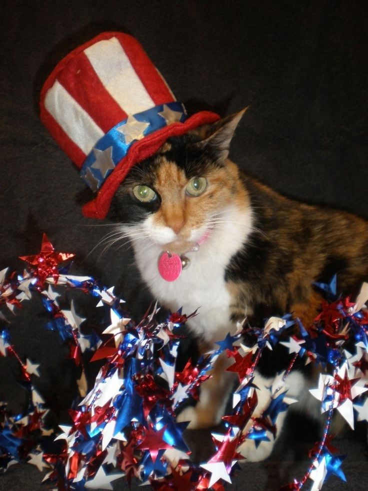 Image result for 4th of july cats