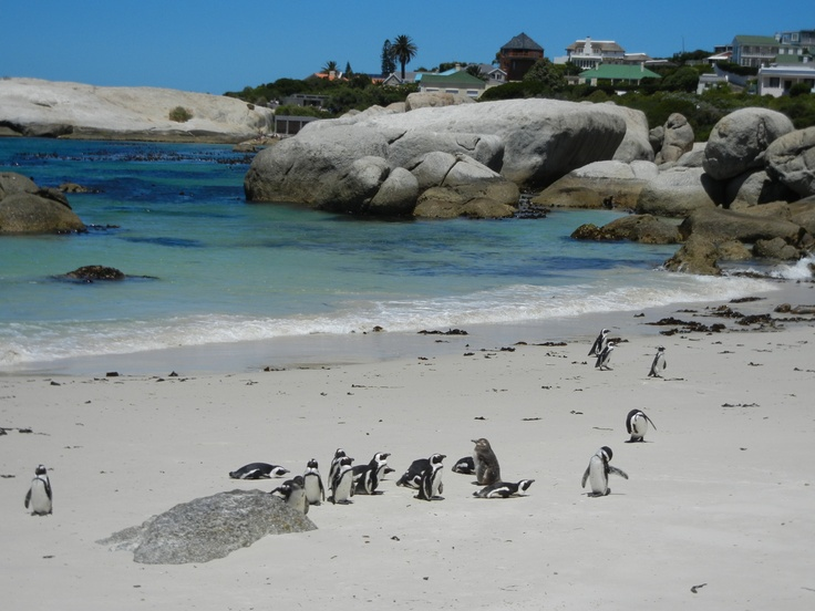 African penguins at Simon's Town.