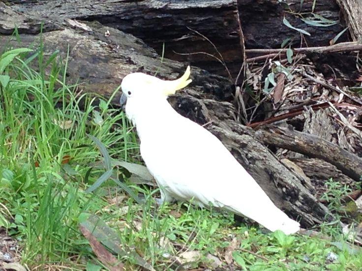 Cockatoo, Dandenong Ranges