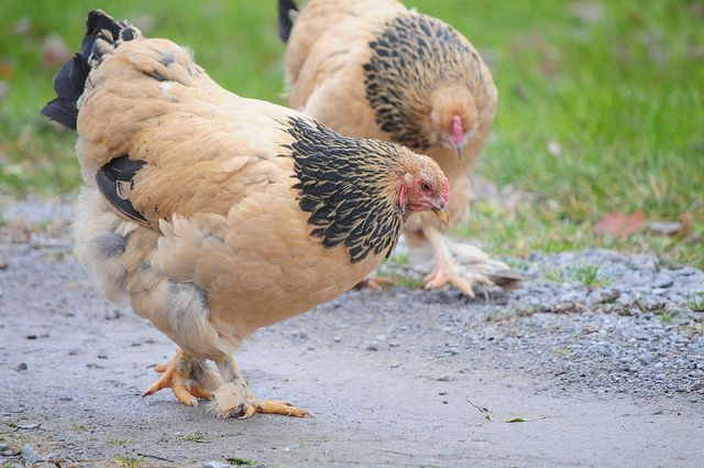 Buff Brahma Chicken- I really want to get some Brahmas this spring - I hear they are super sweet? Plus they are so big!