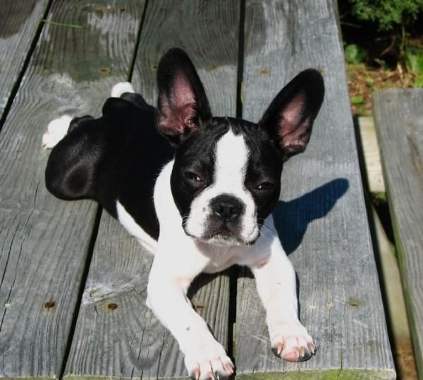 Frenchton Puppy, French Bulldog and Boston Terrier mix Puppy