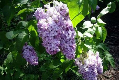 Nombre de flor: Acacia lila  Significado: Elegancia