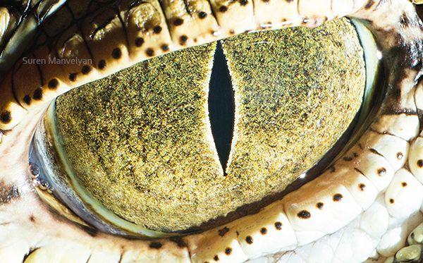 Il a un long museau triangulaire. Ses yeux et ses narines sont situés au sommet du crâne.