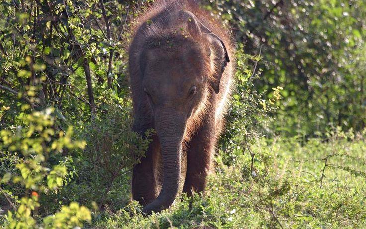 Een baby-olifantje in het Minneriya National Park in de culturele driehoek van Sri Lanka. Ontdek dit schitterende natuurgebied samen met Original Asia! Rondreis - Vakantie - Sri Lanka - Culturele Driehoek - Polonnaruwa - Minneriya National Park - Olifanten - Jeepsafari