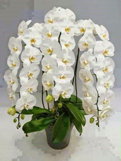 Orquídea em cachos!