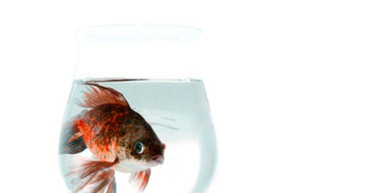 ¿Los peces dorados necesitan un aireador?. A pesar de que ver a un pez dorado en una pecera redonda es una imagen popular, éste no es un hogar ideal para estos peces ya que no pueden obtener suficiente oxígeno para mantenerse saludables. Si debes mantener a un pez dorado en una pecera redonda, tienes que poner una piedra de aire para que haya oxígeno necesario. Para poder hacer funcionar ...