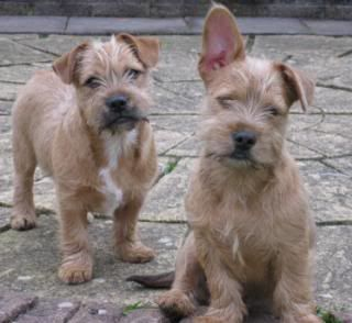 Yorkie, French bulldogs and Bulldogs on Pinterest Yorkie And Bulldog Mix