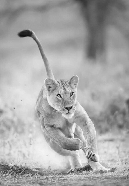 in the jungle, the mighty jungle,  the lion runs to night!