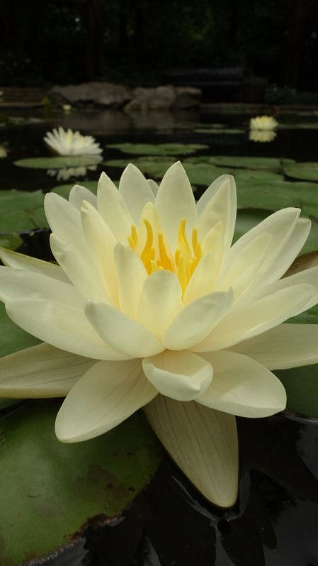 Waterlily Print by Tinjoe Mbugus.  All prints are professionally printed, packaged, and shipped within 3 - 4 business days. Choose from multiple sizes and hundreds of frame and mat options.