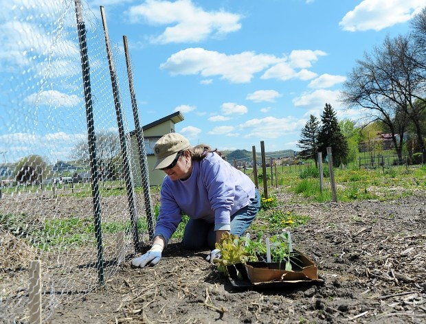 "Sue Burnett of Winona plants peas and onions on her plot at the Wapasha Community Garden near Winona Health on Sunday, April 22, 2012, in Winona. Burnett, who has owned the plot for the past four years, is also planning on planting such vegetables as broccoli, cauliflower, and onions. ""Everyone gets to know each other,"" Burnett said. ""It's a real community."" (Alexa Wallick/Winona Daily News)"