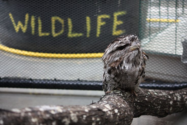 RSPCA Wildlife - A Tawny Frogmouth - digital photography 2013.