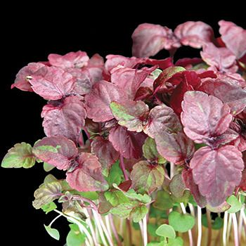 Purple to Red Shiso Perilla Microgreens available as seed from the Potted Vegetable Garden  This truly is a wonderful #microgreen that originated in Asia.