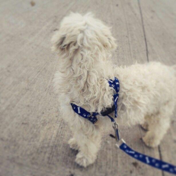 Paseando a mi #perro #pompom por la #plaza es super alegre e inquieto mi #nuevo #pom