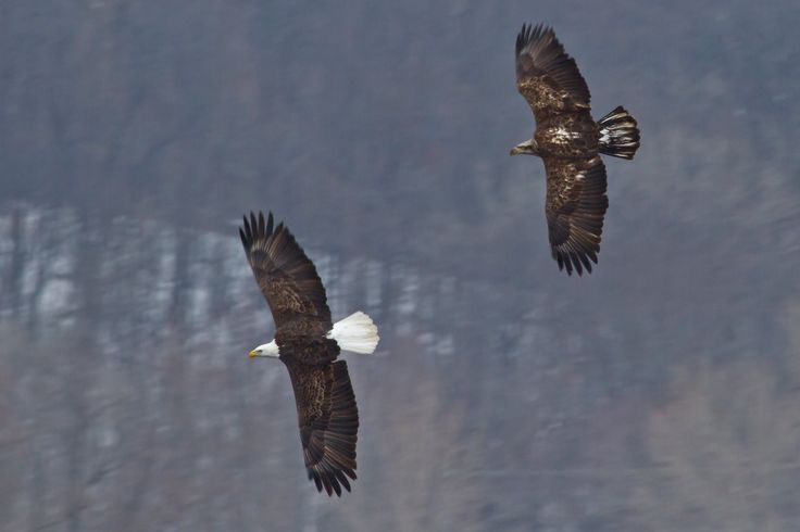 Immature bald eagles do not show the distinct bald cap and white tail feathers until they are 4 to 5 years old.  Photo: Bald eagles in flight photo courtesy of Jason Mrachina/Creative Commons.