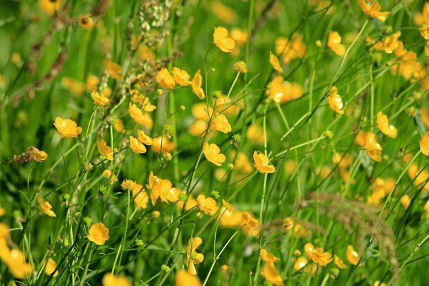 Jaskier Ostry Ranunculus Acris Plants