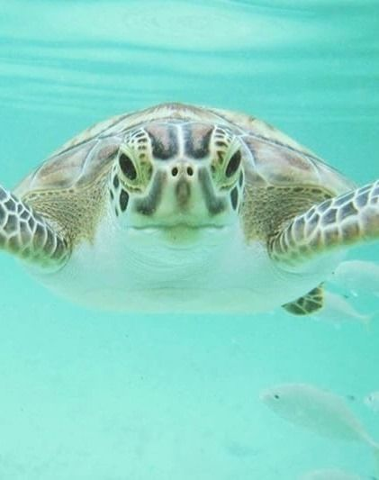 Swim with sea turtles in Man Jack Cay, Abacos, Bahamas