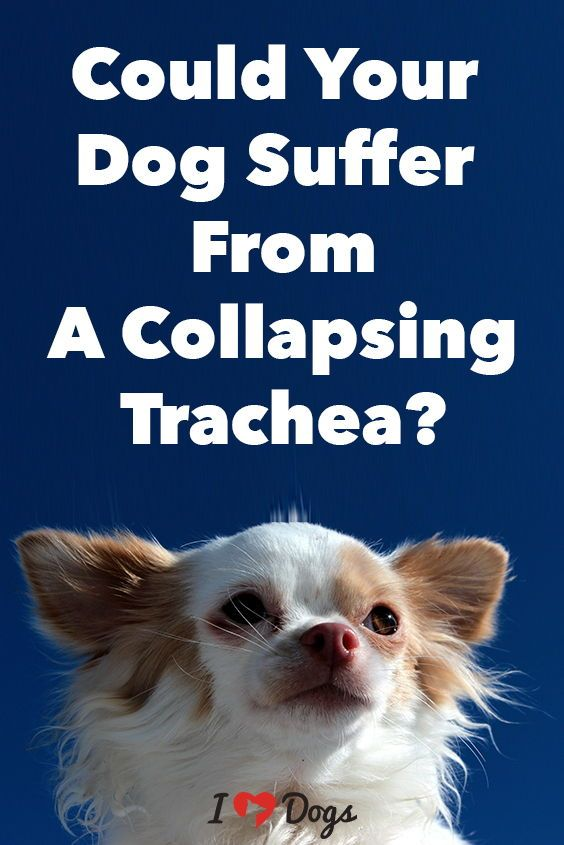 Could Your Dog Suffer From A Collapsing Trachea Pets Are People