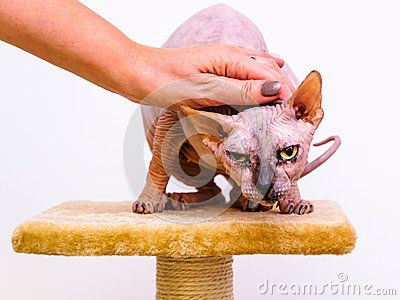 Sphynx cat breed, friend hand caress comfort, isolated white background.