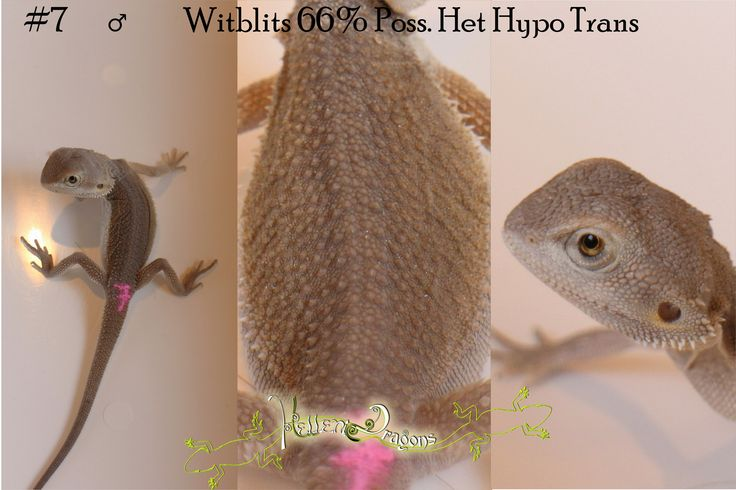 how to get my bearded dragon to grow faster