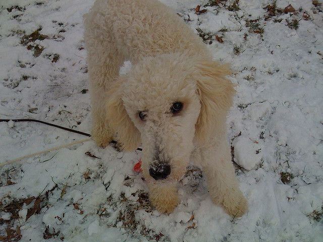 Rufus the puppy discovering snow in vermont