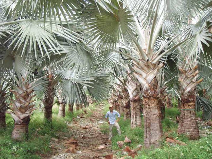 Bismarck Palm Trees Field Grown Palms Wholesale Palm Nursery #RealPalmTrees #Awesome